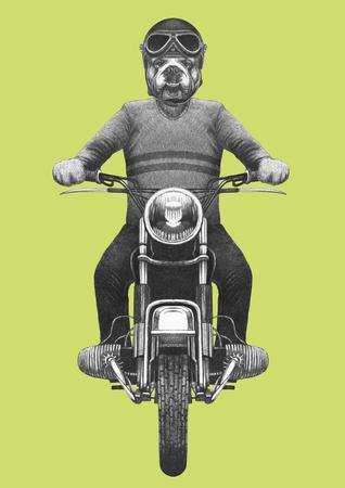 English Bulldog rides motorcycle. Hand-drawn illustration. 写真素材