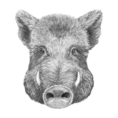 Portrait of Boar, hand-drawn illustration Stok Fotoğraf