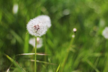 Dandelion across a fresh green field background photo