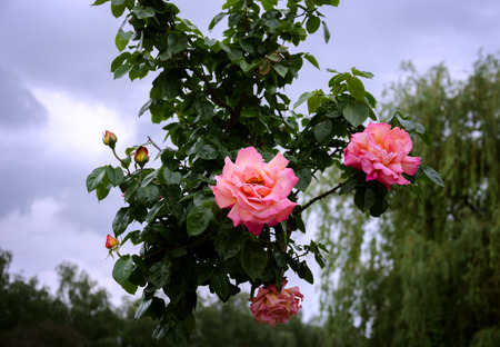 beautiful flowering shrub roses against the sky and weeping willow