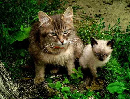 two glamor met in the summer garden little siamese kitten and