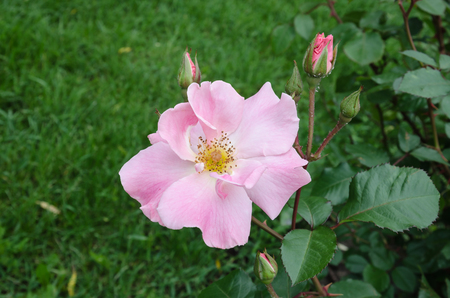 beautiful flower in the summer roses in the garden on a background of green leaves