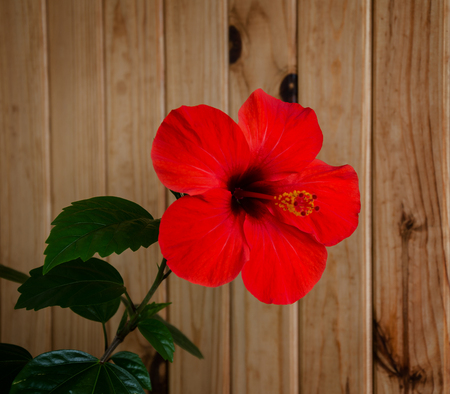 Beautiful red hibiscus flower with green leaves against a wooden lining