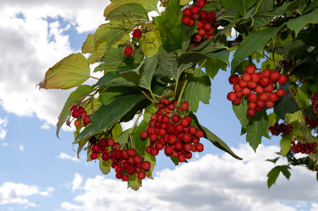 beautiful red viburnum berry with green leaves on a background of the cloudy sky Stock Photo