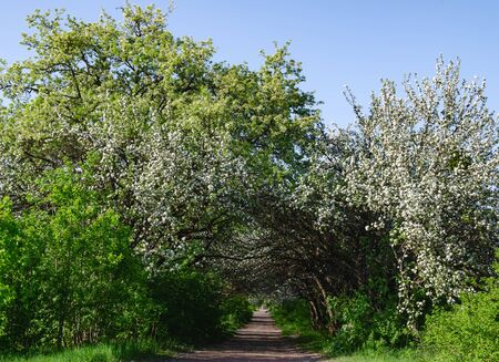 The road is surrounded by flowering fruit trees, a warm spring day