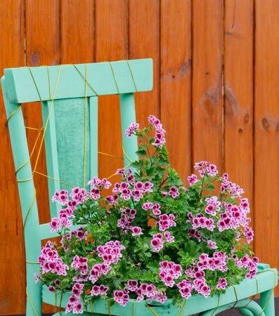 petunia blooming with pink flowers in a flowerpot from a decorative chair, in the garden on a children's day Stock Photo