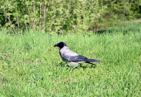 gray jackdaw bird walks on green grass, summer day, closeup