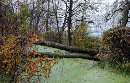 the dam blocked the river, beavers built the overlap of trees and branches, in the forest among the trees