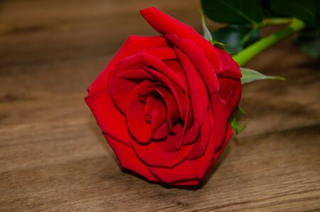 rose red, flower of aromatic rose close up on a wooden background