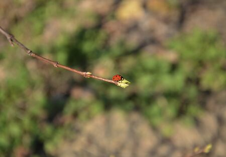 Red beetle, ladybug, on a twig close-up on a spring sunny afternoon in the garden