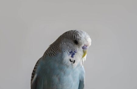 home of beautiful blue bird budgerigar close-up on a gray background