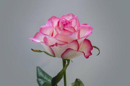 beautiful pink flower fragrant roses close-up on a light background  Banco de Imagens