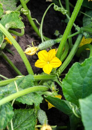 Cucumbers vegetables to plant in a greenhouse in the summer home garden