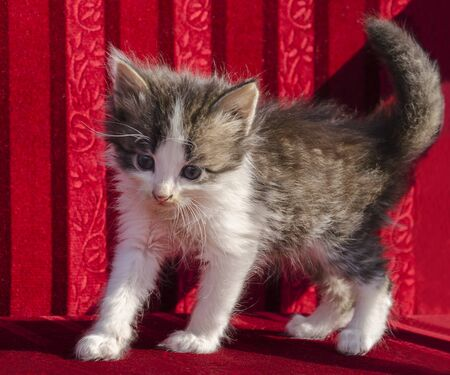 Summer very small beautiful kitten with blue eyes on a red background