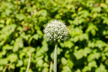 agriculture blooming summer garden vegetables, beautiful inflorescence of garlic on a green background
