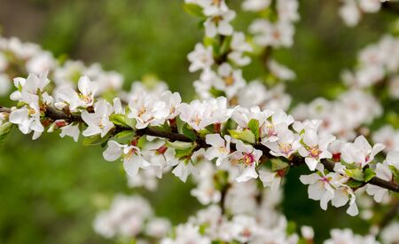 White delicate flowering branch of fruit bushes in the spring warm day in the garden