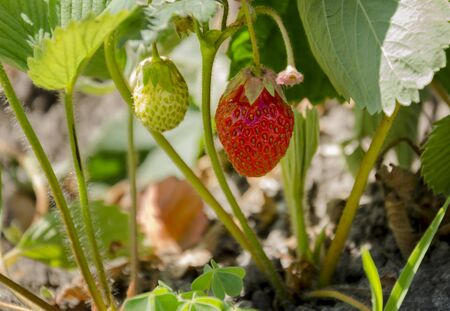 Summer in the garden on a bush of wild strawberry grows a beautiful ripe red delicious berry