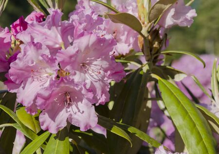 Beautiful bright rhododendron flowers with colorful petals, spring in the garden close up