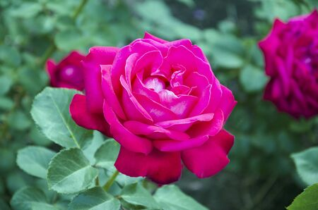 beautiful flower of fragrant rose blooms in the garden on a warm summer day, close-up Stock Photo