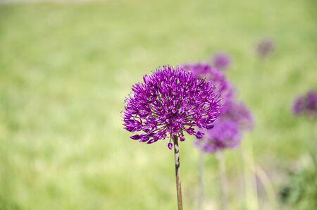 beautiful inflorescence of ornamental onions with purple flowers, beautiful background, closeup