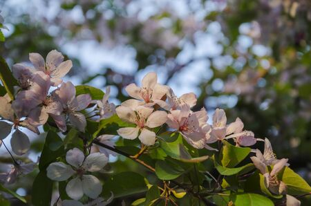 Blooming, delicate pink flowers, a branch of fruit trees, on a blue background Stock fotó
