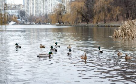 ducks floating in a pond on a cloudy day, wild birds in nature , close-up 写真素材