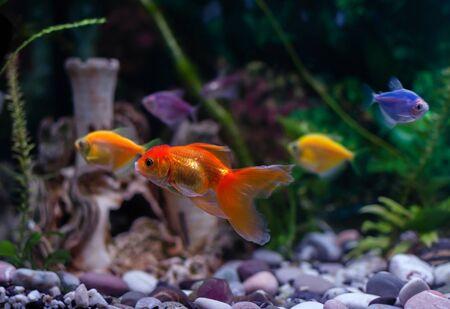 goldfish swims in an aquarium, aquarium fish close-up