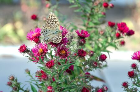 gray butterfly on a bright red autumn flower, close-up insect