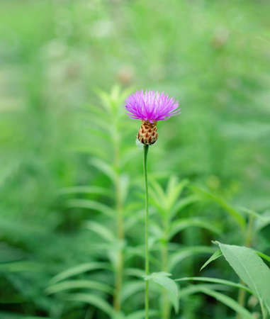 pink flower on a background of green grass, warm summer day, close-up Archivio Fotografico