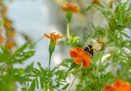 big black bumblebee, insect on orange marigold flower, close up