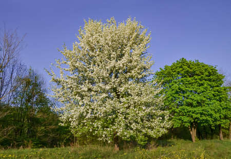 blooming fruit tree in spring, pear tree in white flowers, spring blooming tree on a natural background,