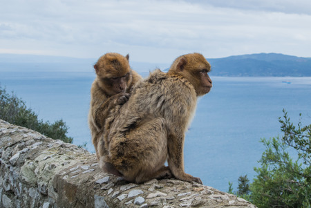 barbery: Two barbery apes sitting and grooming on a wall at the top of The Rock of Gibraltar against scenic seascape on a cloudy day.