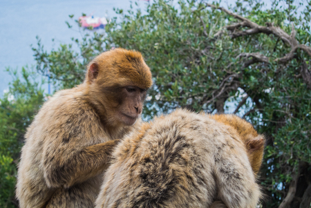 barbery: Two barbery apes sitting and grooming on a wall at the Gibraltar nature reserve against scenic seascape on a cloudy day. Stock Photo