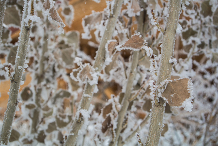A pattern of dry leaves and branches covered with snow and frost, Armenia, Caucasus mountains.