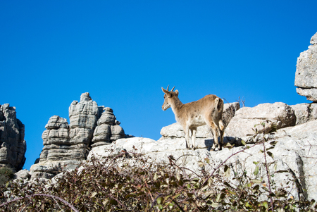 wild goat: A wild goat at natural park El Torcal de Antequera in Malaga province, Spain. Stock Photo