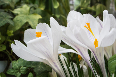 Close-up of lush vibrant white crocuses on dark background with ivy leaves at greenhouse.