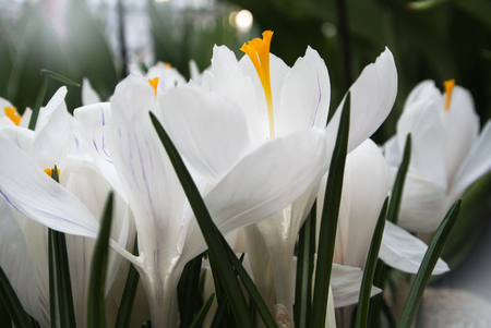Close-up of lush vibrant white crocuses on dark background at greenhouse.