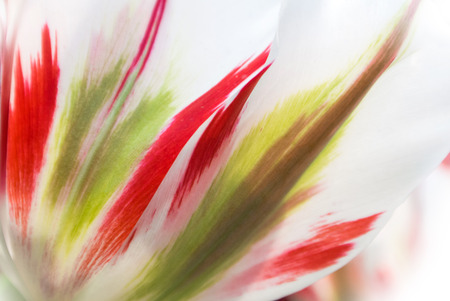 Close-up of fresh lush white transparent tulip petals with red and light green details and streaks, a blurred floral background with details.
