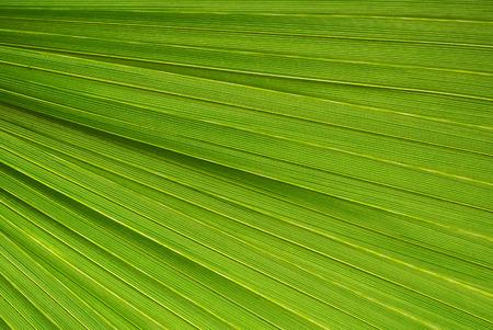 ヤシの葉のテクスチャー、緑の自然な背景。
