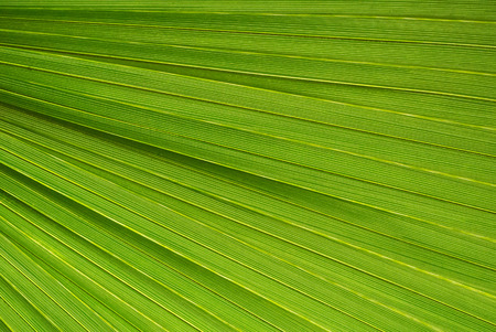 Palm leaf texture, a green natural background. Stock fotó