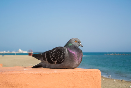 A close-up of gray dove sitting on the wall with sea and beach at background, Benalmadena, Andalusia, Spain.