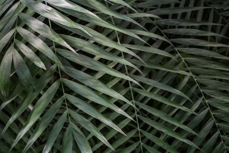 ヤシの葉のテクスチャー、濃い緑色の自然な背景。
