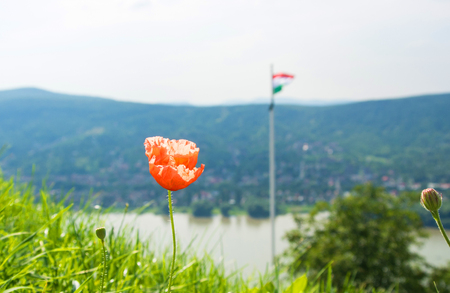 Poppy flowers at the hill of Visegrad castle and hungarian flag at the background, Visegrad, Hungary.