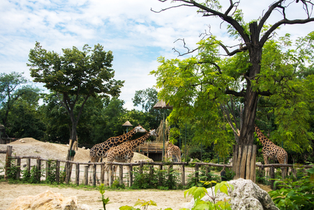 A group of giraffes eating at Budapest Zoo and Botanical Garden on summer day.