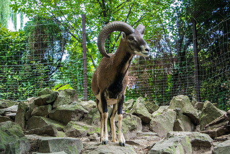 rack mount: BUDAPEST, HUNGARY - JULY 26, 2016: Argali, a mountain goat with big horns at Budapest Zoo and Botanical Garden, Hungary. Editorial