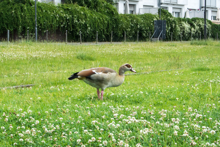 A wild duck at the street of Frankfurt eating grass, Germany.