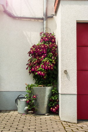 Flowering vinous clematis bush near the house in a bucket, watering can and garage door, Walldorf, Germany. Stock Photo
