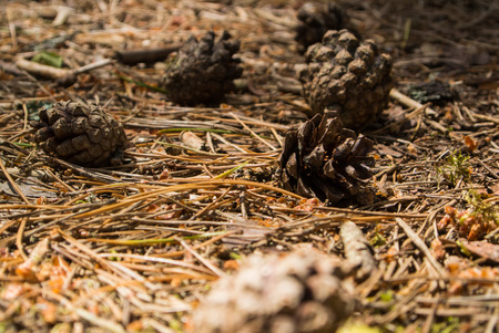 A close-up macro autumn view of a ground covered with dry pine needles and cones, a forest of Curonian Spit, Kaliningrad region, Russia. Stock Photo