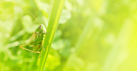 Big green grasshopper sitting on a blade of grass in beautiful sunlight macro close-up background with blurred green soft focus artistic leaf texture. Copy space.