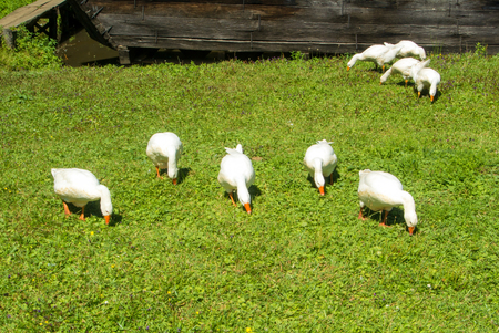 A group of bright white geese eating green gras in the field on sunny summer day, Sibiu, Romania. Stock Photo